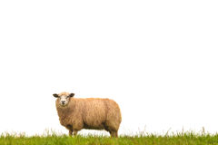 Mature Sheep Isolated On White Stock Photos