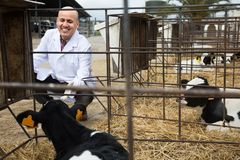 Mature veterinary technician working with milky cows in cowhouse Stock Image