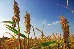 Mature sorghum Stock Photo
