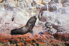Mature South American sea lion in Ballestas islands Reserve in P. Mature South American sea lion (Otaria flavescens) in Ballestas islands Reserve in Peru Royalty Free Stock Photography