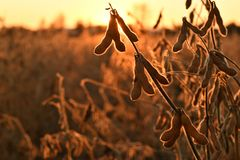 Mature soybean pods, back-lit by evening sun royalty free stock photos