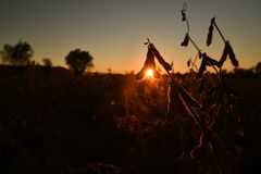 Mature soybean pods, back-lit by evening sun royalty free stock photo