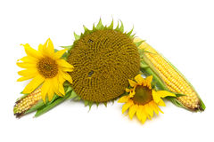 Mature sunflowers and corn on the cob isolated on white backgrou Stock Photography