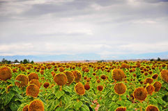 Mature sunflowers ready for harvest Stock Photography