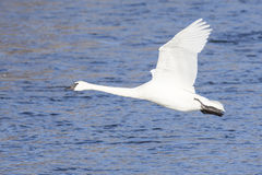 Mature swan in flight over river Royalty Free Stock Photography