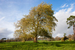 Mature sycamore tree landscape Stock Image
