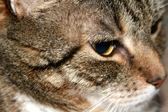 Mature Tabby Cat Stock Images