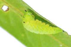 Mature Tailed Jay caterpillar Royalty Free Stock Image