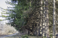 Mature tall pine trees in a line with branches so long they curv Royalty Free Stock Photos