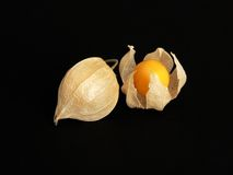 Mature Tomatillos/Physalis. Matured tomatillos. This fruit matures in autumn and is also known as caped gooseberry, winter-cherry, ground-cherry, husk-tomato Royalty Free Stock Image