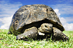 Mature tortoise walking on grass Royalty Free Stock Images