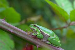 Mature tree frog sitting on a thorny bush of a blackberry Stock Photo