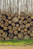 Mature tree logs in a forest stacked on the grass Royalty Free Stock Photo