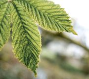 Young horse chestnut tree seen in springtime. royalty free stock photography