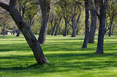 Mature Trees on a Spring Morning Royalty Free Stock Images