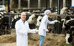 Mature vet and female assistent in cowhouse Stock Image