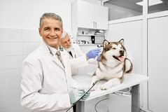 Mature vet looking at camera, while doctor observing dog. Handsome mature veterinary doctor holding folder, looking at camera, smiling, posing. Elderly stock photography