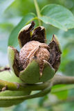 Mature walnut Stock Photography