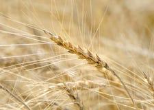 Mature wheat Stock Photos