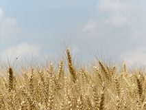 Mature wheat Royalty Free Stock Photo