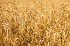 Mature wheat Royalty Free Stock Images