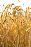 Mature wheat Royalty Free Stock Photo