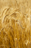 Mature wheat Royalty Free Stock Photography
