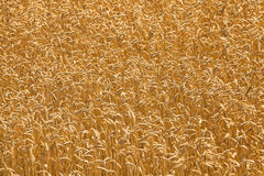 Mature wheat Stock Image