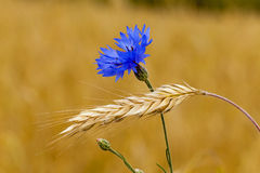 Mature wheat. The blue cornflower, growing in a field together with ripened wheat Stock Images