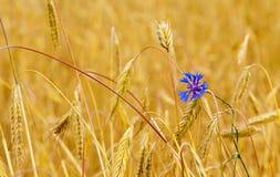 Mature wheat Royalty Free Stock Photos