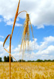 Mature wheat ear against the sky Stock Photography