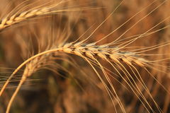 Mature wheat ear. Mature wheat, ripens in summer on the field, harvest begins Stock Photography