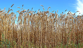 Mature wheat ears Royalty Free Stock Photography