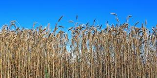 Mature wheat ears Stock Photo