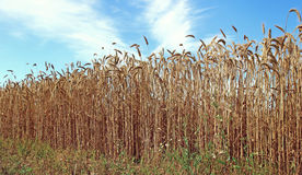 Mature wheat ears Stock Photography