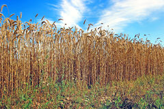 Mature wheat ears Royalty Free Stock Image
