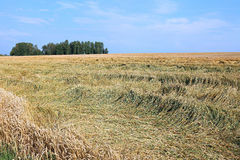 Mature wheat ears Royalty Free Stock Photos