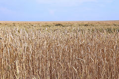 Mature wheat ears. Against the blue sky Royalty Free Stock Images