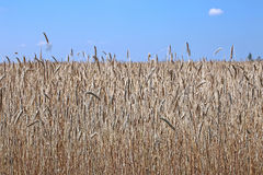 Mature wheat ears. Against the blue sky Stock Photography