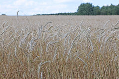 Mature wheat ears. On the field against the cloudy sky Stock Photos