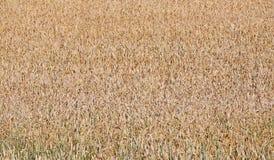 Mature wheat ears Stock Image