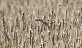 Mature wheat ears Stock Images