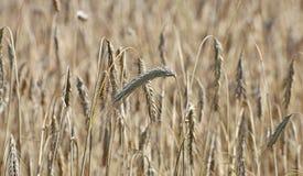 Mature wheat ears Royalty Free Stock Photo