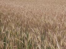 Mature wheat ears stock video footage