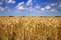 Mature wheat field Stock Image