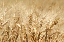 Mature wheat field Royalty Free Stock Image