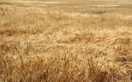 Mature wheat field Stock Photos