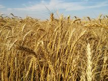 The mature wheat. The field of mature wheat Royalty Free Stock Photo
