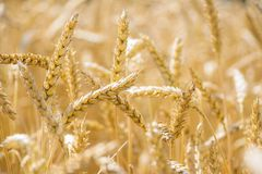 Reached wheat field background Royalty Free Stock Photos