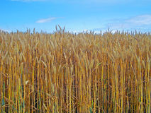 Mature wheat field and blue sky Stock Image